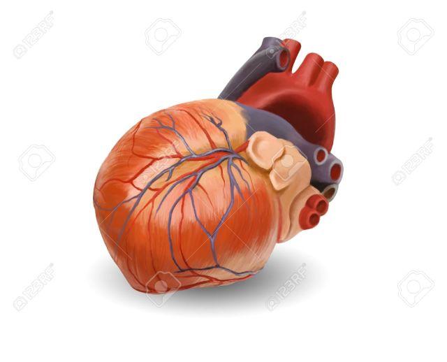 5938706-anatomía-del-corazón-humano-pintado-de-ilustración-a-mano-original